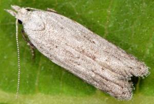 Anarsia spartiella 2