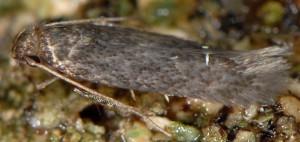Apateona hispanicum 1