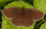 Aphantopus hyperantus (I)