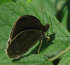 Aphantopus hyperantus 2