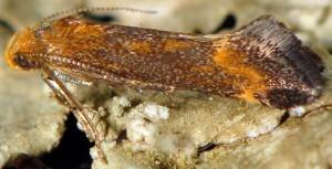 Apodia bifractella 5