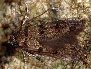 Aprominta cryptogamarum 4