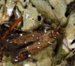 Argolamprotes micella (I)