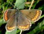 Aricia agestis (I, L5)