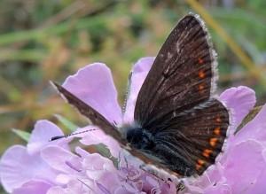 Aricia artaxerxes 1