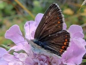 Aricia artaxerxes 2