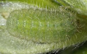 Aricia artaxerxes