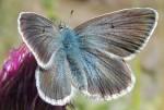 Aricia nicias (I)