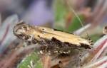Aristotelia staticella (I)