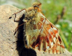 Boloria napaea 06 3