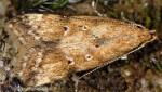 Brachmia blandella (I)