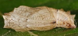 Brenthis daphne p 2