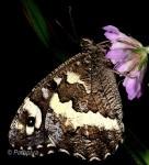 Brintesia circe (I, L5)