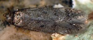 Bryotropha affinis 4