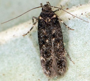 Bryotropha affinis 6