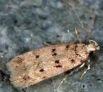 Bryotropha domestica (I)