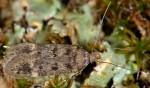 Bryotropha dryadella (I, G)