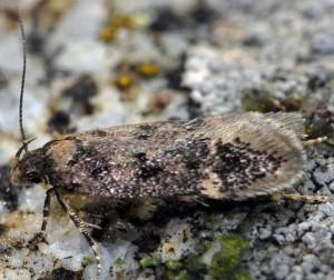 Bryotropha dryadella 5