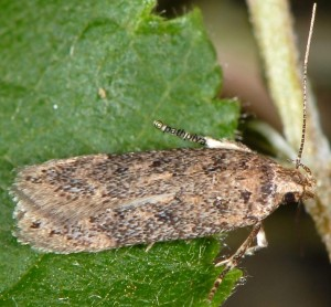 Bryotropha pallorella 04