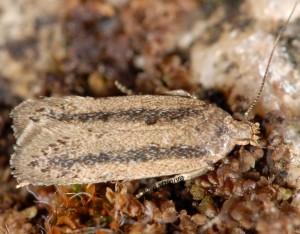 Bryotropha pallorella 05