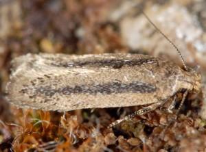 Bryotropha pallorella 06