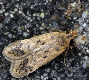 Bryotropha pallorella 09