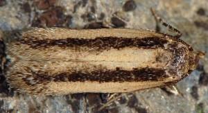 Bryotropha pallorella 10