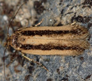 Bryotropha pallorella 11