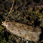 Bryotropha senectella (I)