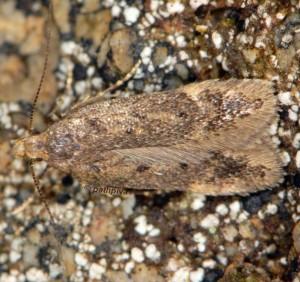 Bryotropha senectella 4