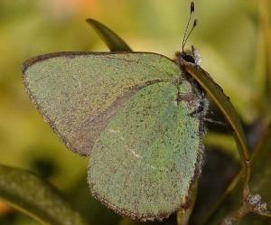 Callophrys avis