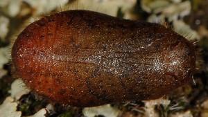 Callophrys rubi p 2