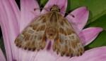 Carcharodus boeticus (I, L3, L4, L5, P)