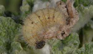Carcharodus boeticus L5 2