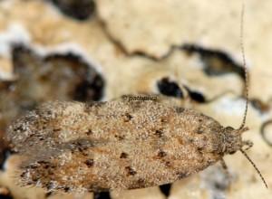 Carpatolechia aenigma 1