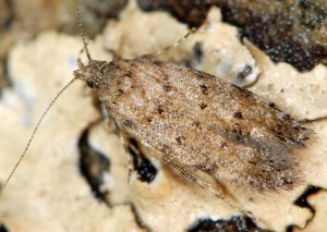 Carpatolechia aenigma 2