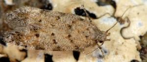 Carpatolechia aenigma 3