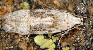 Carpatolechia-alburnella-06-1
