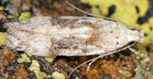 Carpatolechia-alburnella-06-2