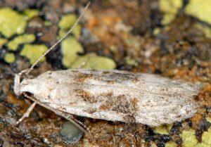 Carpatolechia-alburnella-06-3