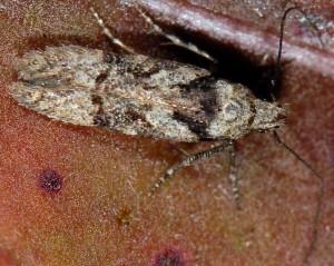 Carpatolechia decorella 2