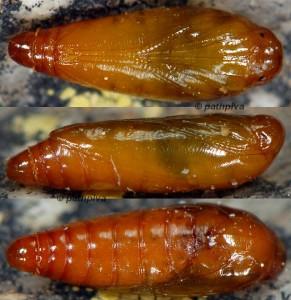 Carpatolechia decorella p