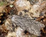 Carpatolechia notatella (I)