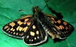 Carterocephalus palaemon (I)