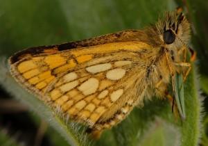Carterocephalus palaemon 2