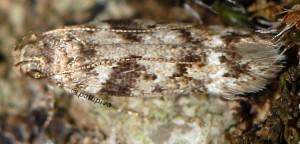 Caryocolum blandulella 2