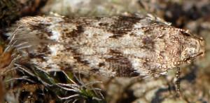 Caryocolum blandulella 3