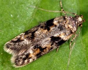 Caryocolum blandulella 5