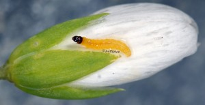 Caryocolum huebneri L3 1