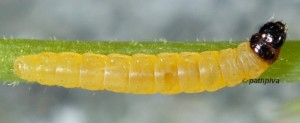 Caryocolum huebneri L3 4